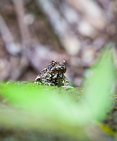 Close up of a frog in a Hawaiian forest