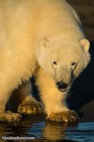 Young Male polar bear of the shore of the Beaufort Sea. Alaska Polar Bear Photography Prints