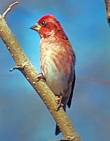 Adult male purple finch
