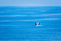 giant oceanic manta ray, Mobula birostris, formerly Manta birostris, breaching, jumping, leaping, Pacific Ocean