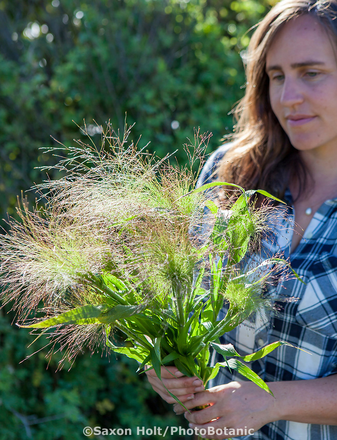 Ornamental grass harvested for No-till flower farming, Singing Frogs Farm