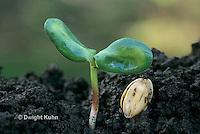 HS13-062b Sunflower seedling germination