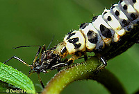 1C02-019z  Ladybug larva eating prey aphid
