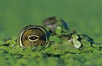 Bullfrog, Rana catesbeiana, adult in duckweed camouflaged, Welder Wildlife Refuge, Sinton, Texas, USA