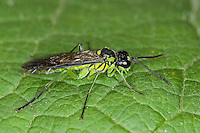 Blattwespe, Echte Blattwespe, Grünschwarze Blattwespe, Tenthredo mesomela oder mioceras, Eurogaster mesomela oder mioceras, Sawfly