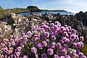 Thrift {Armeria maritima}, Isle of Mull, Scotland, UK. June.