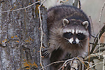 Raccoon and an old cottonwood tree in a forest in Montana