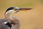 Great Blue Heron (Ardea herodias), Santa Cruz, Monterey Bay, California