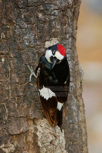 Acorn Woodpecker (Melanerpes formicivorus), male, Madera Canyon, Tucson, Arizona, USA, May 2005