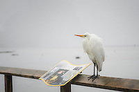 Kotuku, White Heron in Milford Sound, Fiordland National Park, Southland, World Heritage Area, New Zealand