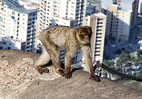 JAN 9 Barbary Macaques in Gibraltar