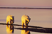 Polar Bears walking along the Beaufort Sea coast, Arctic National Wildlife Refuge, Alaska.  Oct.  Late evening light.