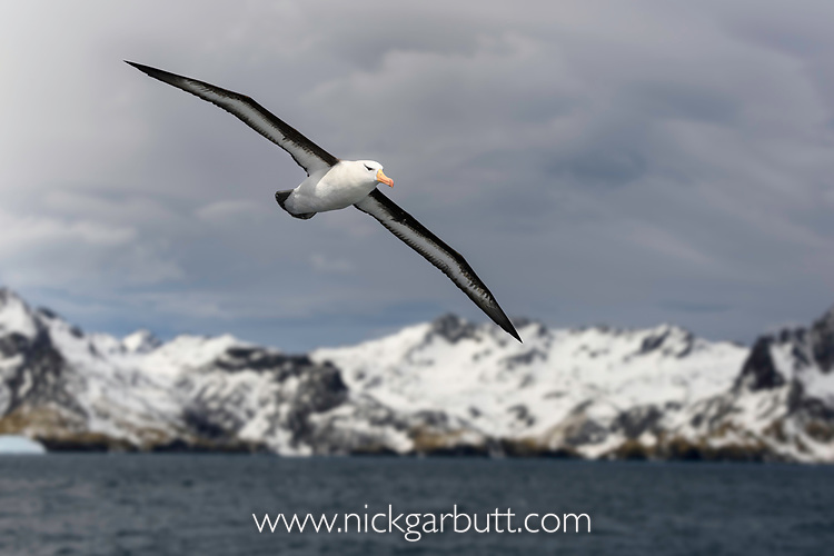 Black-browed albatross (Thalassarche melanophris) in flight close to Cooper Bay, South Georgia, South Atlantic.