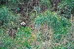 Giant Panda, Qinling Mountains, China