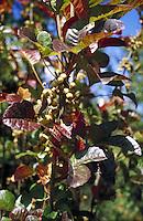 poison oak leaves on plant. toxic, irritant, poisonous, botany.