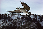 A Canada Goose flies overhead in Colorado.