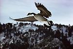 A Canada Goose flies overhead in Colorado.