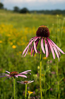 Purple Coneflowers preside over the Pheasant Branch Conservancy near Middleton, Wisconsin.