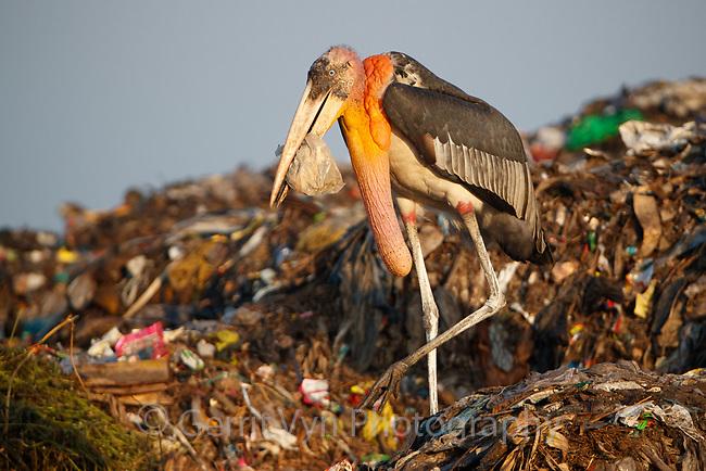 Endangered Greater Adjutant stork with plastic bag at Boragaon Landfill. Assam, India.