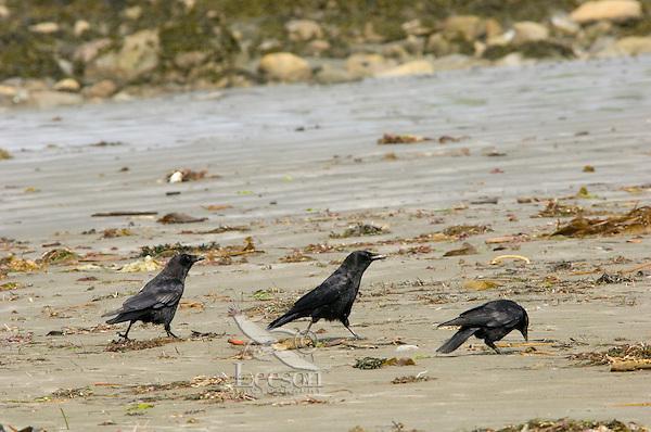 Northwestern Crows (Corvus caurinus) picking through what the tide left , coastal Pacific Northwest.