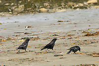 Northwestern Crows (Corvus caurinus) picking through what the tide left , coastal Pacific Northwest.