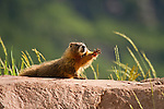 Juvenile Yellow-bellied Marmot stretching