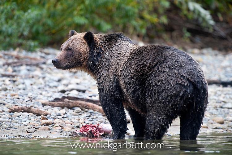 Male (boar) Grizzly Bear (Ursus arctos horribilis), Atnarko River, Tweedsmuir Park, British Columbia, Canada