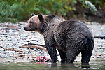 Male (boar) Grizzly Bear (Ursus arctos horribilis), Atnarko River, Tweedsmuir Park, British Columbia, Canada