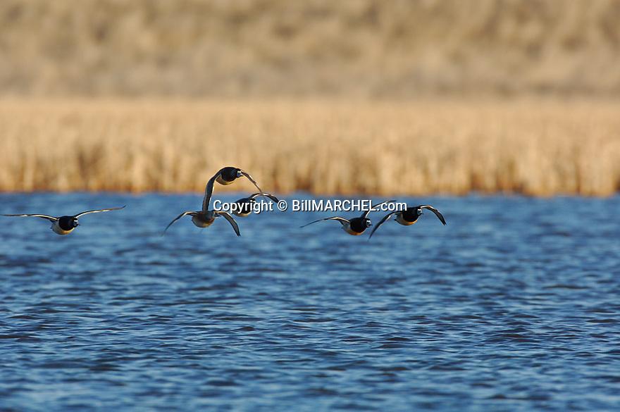 00305-025.16 Ring-necked Duck (DIGITAL) flock in flight low over marsh.  Hunt, ringbill, action, fly, waterfowl, wetland.  H1F1