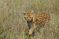 Wild Serval (Leptailurus serval) hunting in Serengeti National Park, Tanzania.