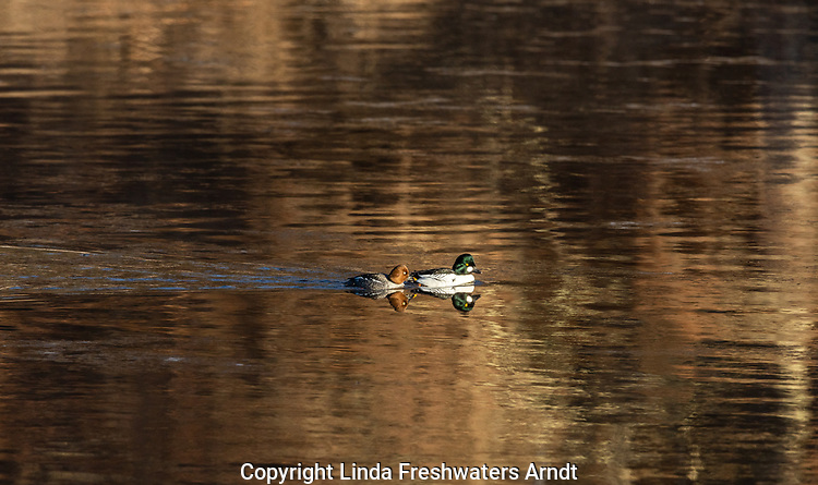 Hen and drake common goldeneye on the Chippewa River in northern Wisconsin.