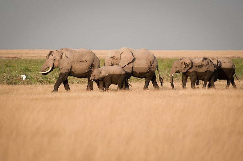 When pastures are readily available, elephants prefer grazing to browsing for bark, leaves, seeds, roots, fruit and branches. In such opportunity elephant diet will consist up to 70% grazing.  Elephants are very mobile. In a day they will cover up to twenty miles in routine feeding practice.