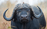 A cape buffalo with a red-billed oxpecker.