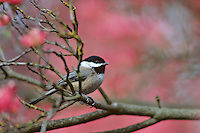 Black-capped chickadee (Poecile atricapillus) among pink dogwood tree blossoms, Pacific Northwest.  Spring.