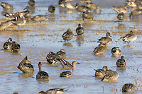 Waterfowl--mostly Northern Pintails (Anas acuta) in shallow pond.  Western U.S., Oct.