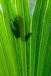 A tree frog is silhouetted against a palm frond.