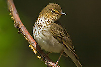 Swainson's Thrush (Catharus ustulatus) rests in mixed forest along Lake Erie shoreline near Canada and USA border during annual spring migration north from South and Central America to summer nesting grounds. About 73% of Swainson's Thrushes in North America breed in the Boreal Forest of Canada and Alaska..