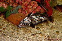0120-08mm  Hi-hat Drumfish - Equetus acuminatus © David Kuhn/Dwight Kuhn Photography