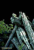 MA02-006z  Chipmunk - on fence - Tamias striatus