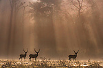 Deer at dawn as sun breaks trough the trees by Trikansh Sharma