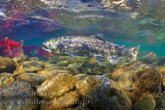 A Chinook Salmon( Oncorhynchus tshawytcha) swimmng upstram to spawn is surrounded by Sockeye salmon in the Adams River, British Columbia Canada.