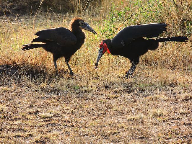 Southern Ground Hornbill pair, Maasai Mara