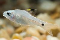 Highfin Neon Barb, Oreichthys crenuchoides