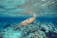 dugong or sea cow, Dugong dugon, swims over reef, ( Indo-Pacific Ocean )