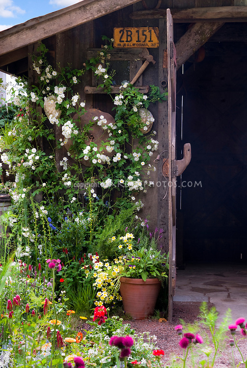 Charming rustic garden shed with old license plate, container plants, ornaments, climbing white rose Rosa, flowers, antique farm tools ornaments hanging on wall, lush garden with Cirsium rivulare 'Atropurpureum' , Linum, wonderful combination of old and growing, 1932 antique license plate California