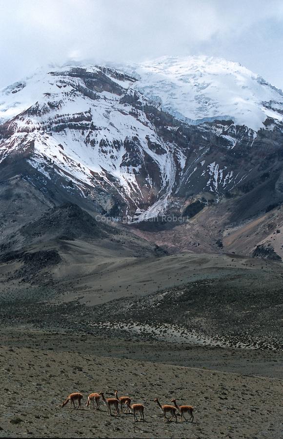 """Amérique du Sud. Equateur. Trekking sur les volcans d'Equateur. vigognes (vicugna vicugna) au pied du Chimborazo (plus haut sommet d'Equateur 6310 m)Ce camélidé  sauvage d'Amérique du Sud est le plus petit des camélidés.  Il a la taille d'un grand mouton :  Ses poils sont abondants, longs (20-35 cm),  souples et extrêmement fins (diamètre de 15-30 microns). La laine  faite avec son poil et le tissu qu'on en tire sont appelés """" vigogne """".  Un adulte peut en fournir 5 kg par an. On en tire des gants, des bas, des  chapeaux, des tapis, des couvertures très chaudes et des  étoffes..."""