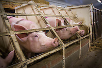 Sows in a sow house awaiting insemination - Lincolnshire