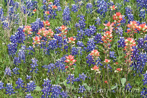 Wildflowers US HWY 290 Texas - digitally manipulated with Topaz filters
