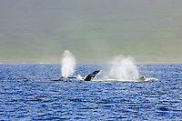 A competition pod of humpback whales near Olowalu, Maui.