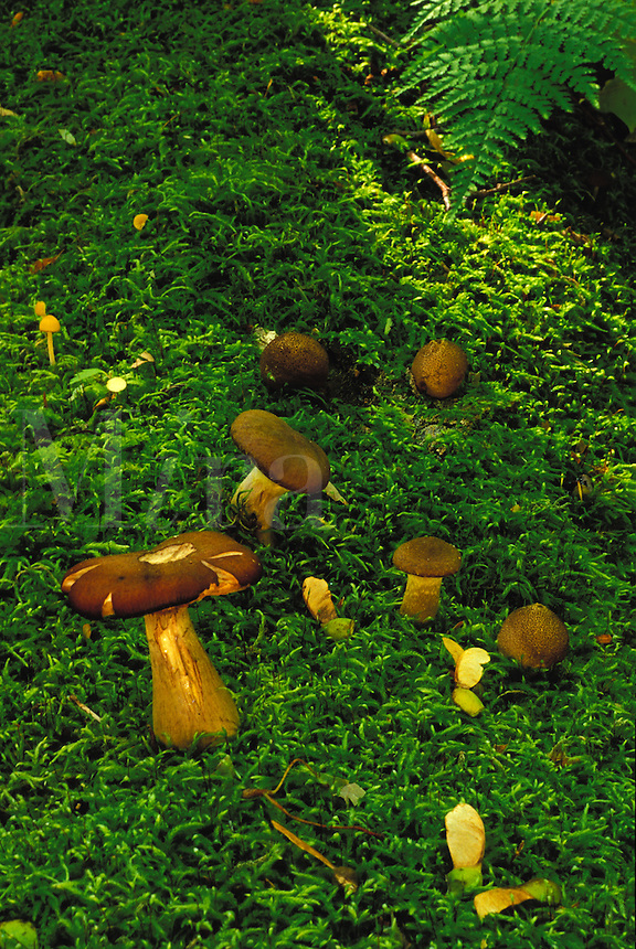Mushrooms on a carpet of Moss in Baxter State Park, Maine.
